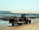 Podczas odpływu możliwa jest praca przy hodowli ostryg [1600x1200]
